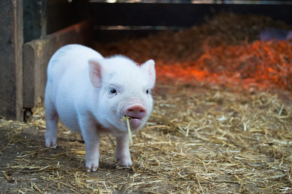 Research grant to help improve stress resilience in pigs - Queensland Alliance for Agriculture ...
