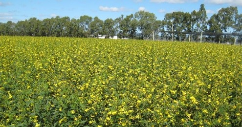 effective weed control that preserves yield in pigeonpea