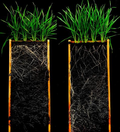 roots shallow versus deep