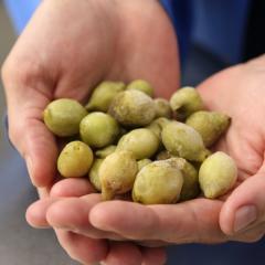 Australian Government funding boost for Kakadu plums