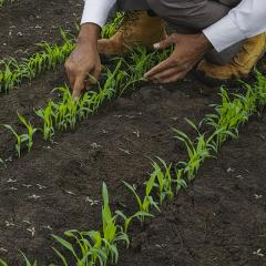 Ultra narrow rows ramp up competition on weeds