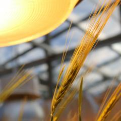 Could AI Deliver The Next Wheat Breakthrough?