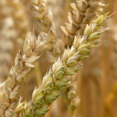 Flour power: wheat discovery to increase flour yields