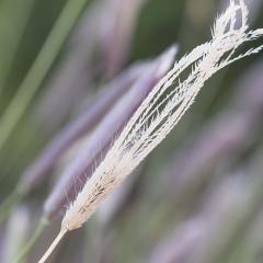 Feathertop Rhodes (FTR) grass demands attention to stop seed set
