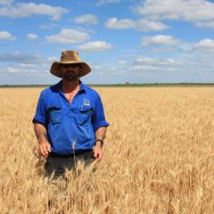 Feed wheat first priority for major expansion of northern grain crops