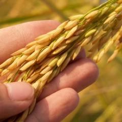 Scientists closer to enhancing dietary fibre properties in wheat