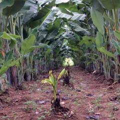 Preventing a viral banana pandemic