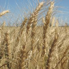 Wheat Outlook: Season crop report for October